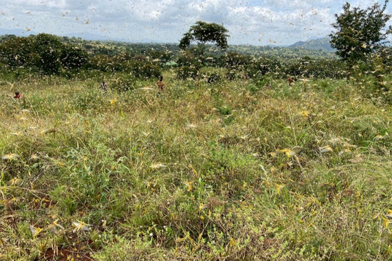 Swarm of 40-50 million adult desert locust hits millet fields in a village in Karuni, Kenya. (Image: Shutterstock)