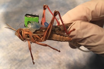 Sensors placed on locusts monitor neural activity while they are freely moving, decoding the odorants present in their environment. (Photo: Barani Raman)