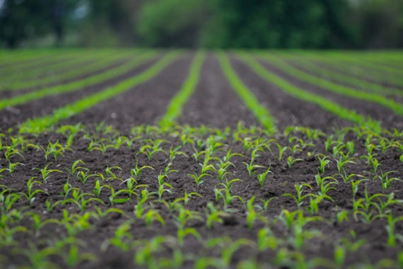 Researchers at the McKelvey School of Engineering published their technique for measuring just how much of a new, gene-silencing pesticide is present in a few grams of soil. (Image: Shutterstock)