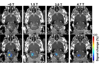 In a mouse model study of MRI-guided focused ultrasound-induced blood-brain barrier (BBB) opening at MRI field strengths ranging from approximately 0 T (outside the magnetic field) to 4.7 T, the static magnetic field dampened the detected microbubble cavitation signal and decreased the BBB opening volume.