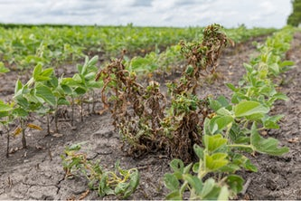 Waterhemp and weeds wilting and dying in soybean field after dicamba herbicide spraying. New research from the McKelvey School of Engineering found the chemical process that explains why dicamba sometimes spreads through the air. (Image: Shutterstock)